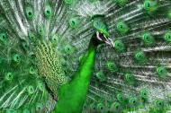 骄傲的孔雀图片(8张)