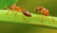 微距举腹蚁图片(11张)