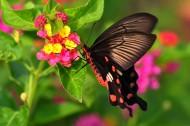 玉带凤蝶图片(13张)