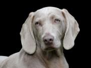 形态优雅的威玛猎犬图片(15张)
