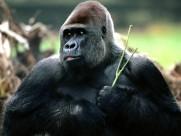 猩猩图片(16张)