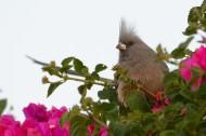 白背鼠鸟图片(8张)