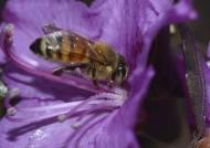 忙碌的小蜜蜂图片(6张)