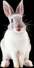 兔子透明背景PNG图片(18张)
