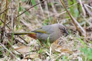 橙翅噪鹛图片(9张)