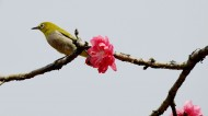 桃花树上的绣眼鸟图片(8张)