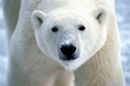北极熊图片(20张)