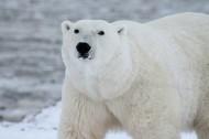 北极熊图片(6张)