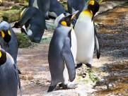 性情温顺的王企鹅图片(15张)
