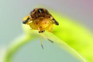 龟金花虫图片(7张)
