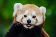 萌萌的小熊猫图片(17张)