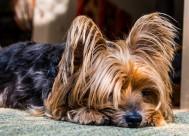 拥有华丽长毛的约克夏梗犬图片(18张)