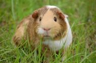 可爱的豚鼠图片(12张)