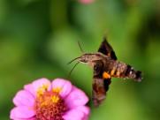 蜂鸟鹰蛾图片(10张)