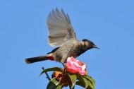 黑喉红臀鹎鸟类图片(6张)