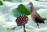 灵敏的秧鸡图片(7张)