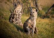 凶猛的鬣狗图片(15张)