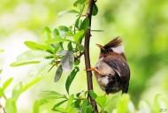 白领凤鹛图片(15张)