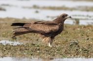 黑鸢图片(6张)