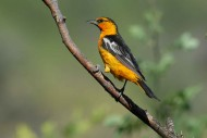 欢快的黄鹂鸟图片(11张)