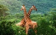 长颈鹿图片(6张)