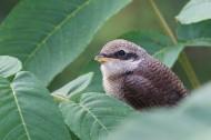 可爱伯劳鸟类图片(9张)