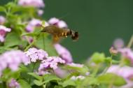 蜂鸟鹰蛾图片(6张)