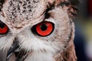 凶猛的猫头鹰图片(16张)