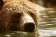正在游泳玩耍的棕熊图片(14张)
