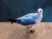 红嘴鸥图片(8张)