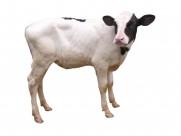 健壮的小牛犊图片(20张)