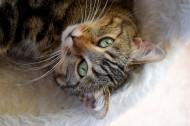 躺在地毯上的猫咪图片(10张)