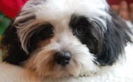 哈瓦那小犬图片(9张)