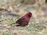 酒红朱雀鸟类图片(7张)