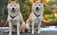 暖萌的秋田犬图片(12张)