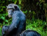 黑猩猩图片(15张)