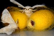 蚕蛾昆虫图片(15张)
