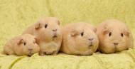 萌宠 荷兰猪图片(15张)