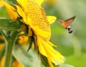 葵花上的蜂鸟鹰蛾图片(10张)