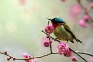 太阳鸟图片(8张)
