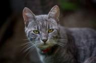 花灰色猫咪图片(10张)