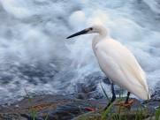 洁白的白鹭图片(11张)