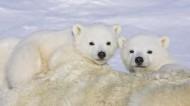 北极熊图片(7张)