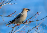 太平鸟图片(7张)
