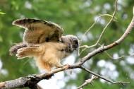 凶猛的长耳鸮鸟类图片(12张)