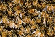 分布密集的蜜蜂图片(12张)