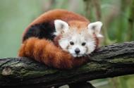 树干上的小熊猫图片(13张)