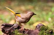 中国特产鸟类之橙翅噪鹛图片(15张)