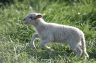 草地里的小羊图片(9张)