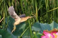 黄苇鳽的飞姿图片(18张)